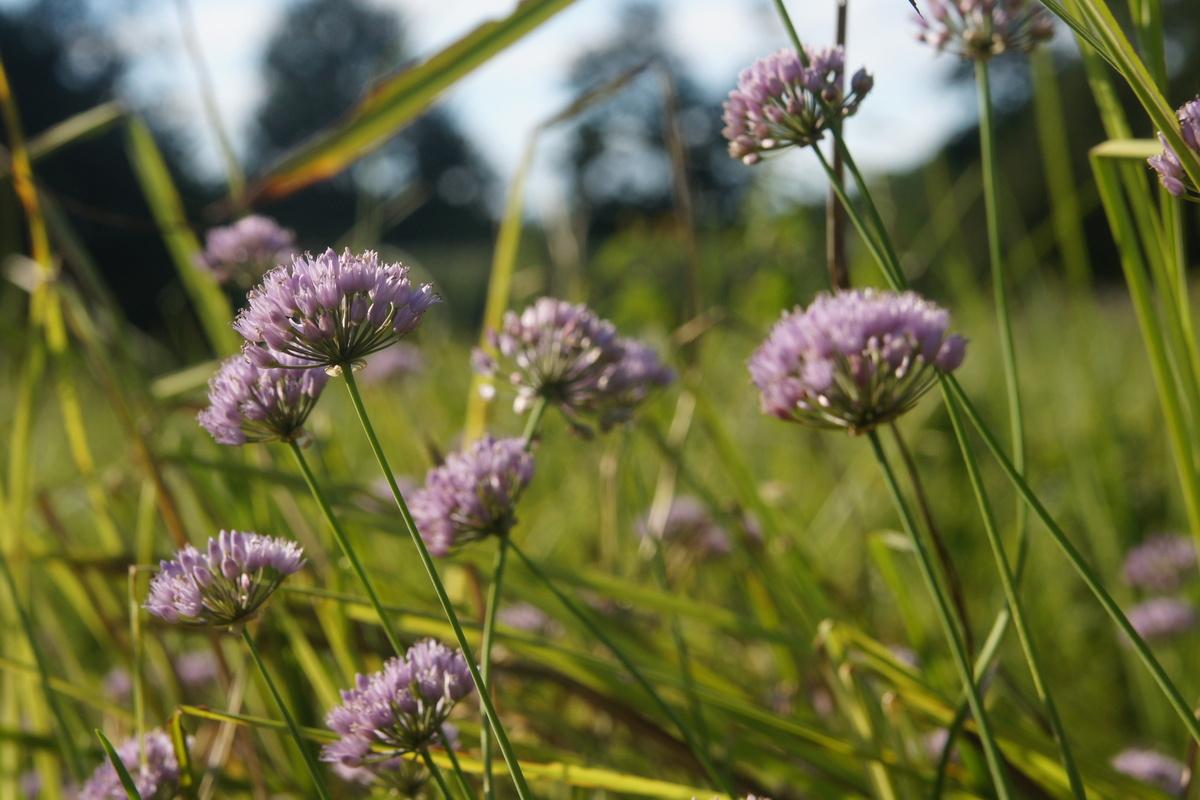 09 >> Primerki vrste dišeči luk (Allium suaveolens)