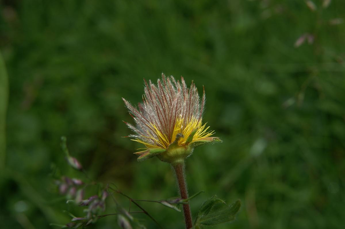 Primerki vrste gorska sretena ( Geum montanum ): www2.arnes.si/~bzwitt/flora/geum_montanum.html
